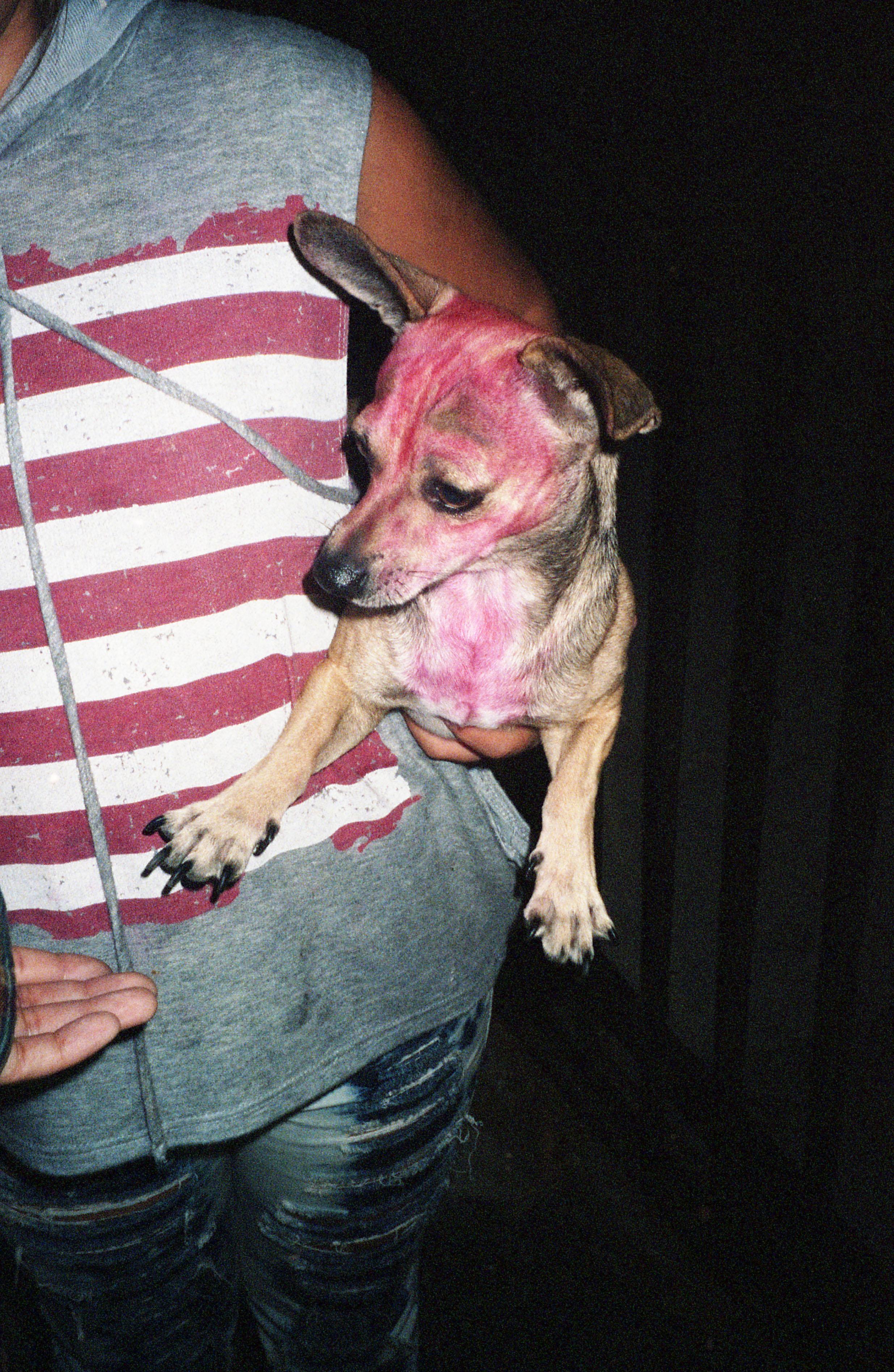 chihuahua rosa 2